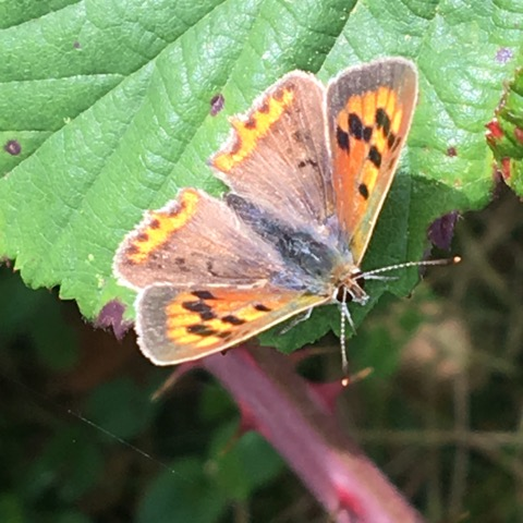 2. Small Copper Jo Cameron 1